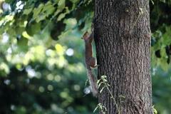 scoiattologrigio