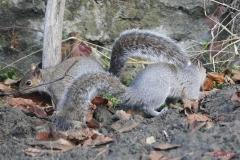 scoiattologrigio2