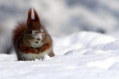 scoiattolomichele