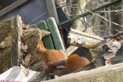 scoiattolorossomario