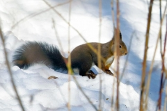 scoiattolorossotrarami