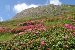 rododendri2