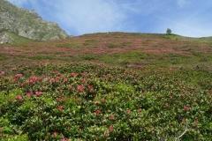 rododendrienzo
