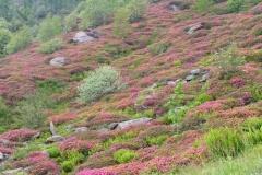 rododendrigiardino