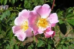 rosac