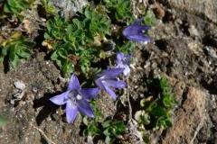 campanulacenisia
