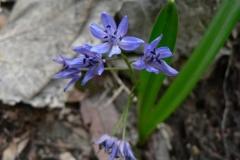 scillabifolia