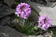 thlaspirotundifolium