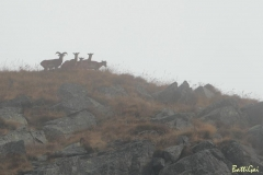 muflonigruppetto