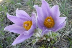 anemonespfg