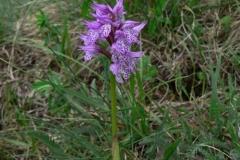 orchistridentata2