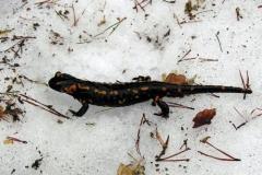 salamandraneve