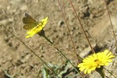 tersite_polyommatus_thersites